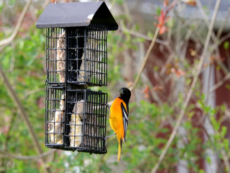 A male Baltimore Oriole at the suet