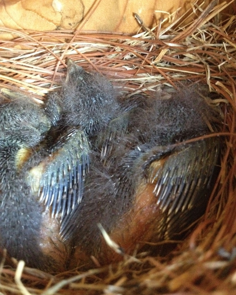 Same three chicks on May 10