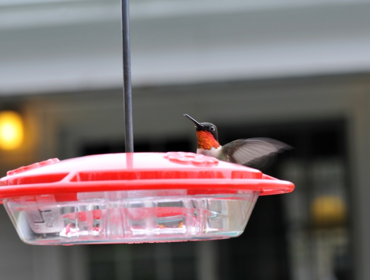 Male Ruby-throated Hummingbird defending his feeder