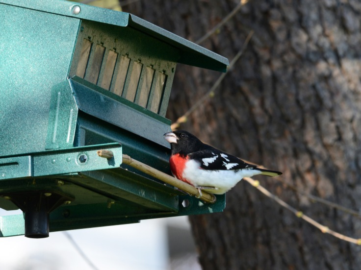 A male Rose-breasted Grosbeak packing up on seeds