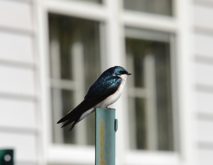 A Tree Swallow sunbathing