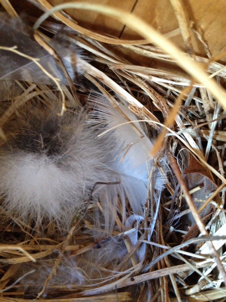 Swallow nest lined with white feathers and down