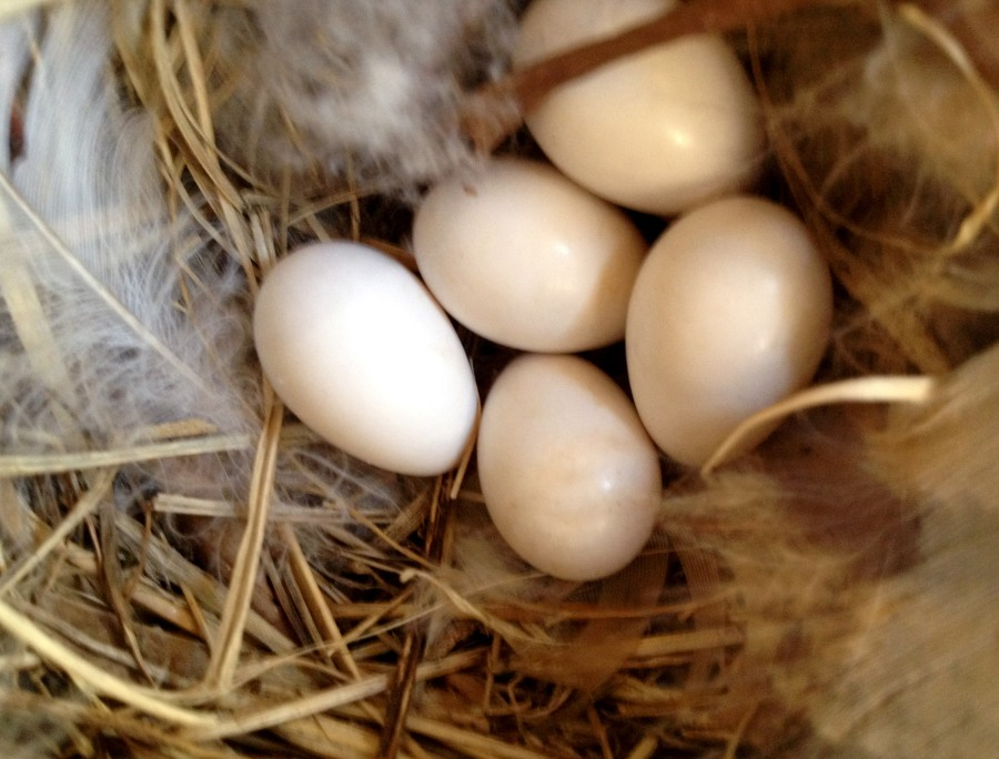 Last check on the Swallow nest revealed five eggs