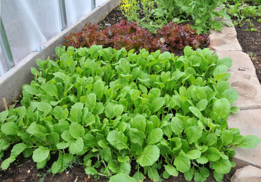 Plenty of Pac Choi and Red-leaf lettuce in there with flowering Broccoli Raab in the background