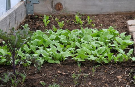 French Breakfast and Cherry Belle Radish with Kale and self-sown Dills and Calendula
