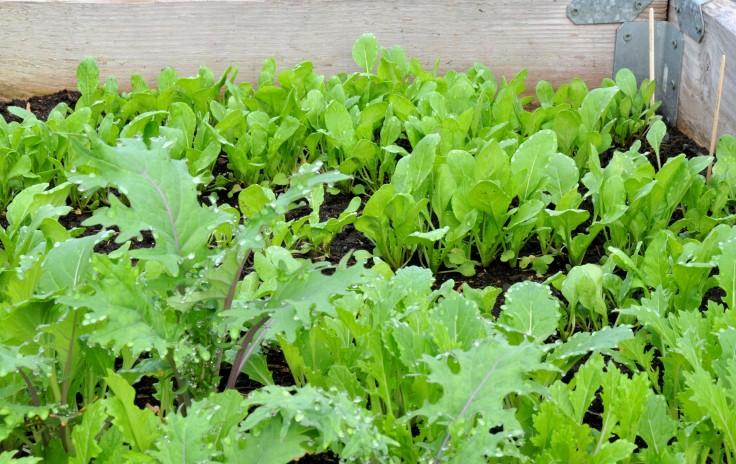 A lot of Mizuna, Arugula and some Kale