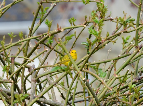 Male Yellow Warbler looking for insects in rose bush