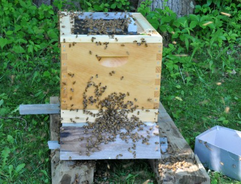 With a screen on top, the wandering bees can smell the queen and try to get in.  As soon as I opened the bottom entrance, they just poured in.