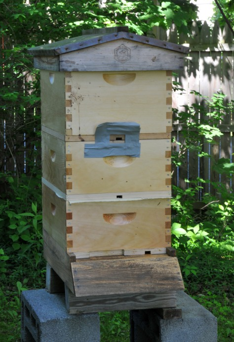 I've taken the bottom super from the first hive.  The middle super is the swarm I caught, with a piece of newspaper in between to make sure that they merge well by let them chew through slowly.  The top super is empty, just used to cover a top feeder.  I also closed the top entrance with screen so the weaker swarm bunch won't get robbed but they can still go in and out from the entrance between them and the super below.