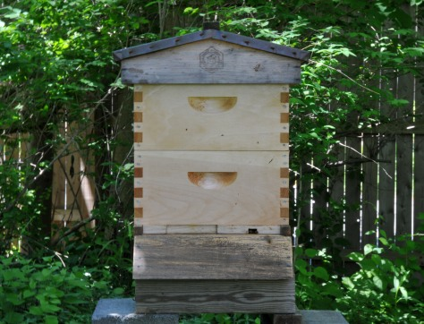 The third hive now, with the newspaper, shim and top feeder out.  They get along well and are busy foraging.