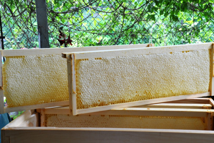 Four frames of capped honeycombs from the swarmed hive (#2).  I should have removed some honey from hive #1 as well but after four stings, ..think I'd rather wait.