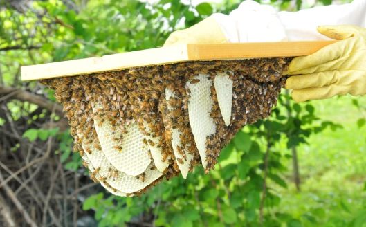 Hive 5, from a swarm on June 7, has also built up comb but with less nectar and pollen. I couldn't believe how fast they can build. This is only three days work for them.