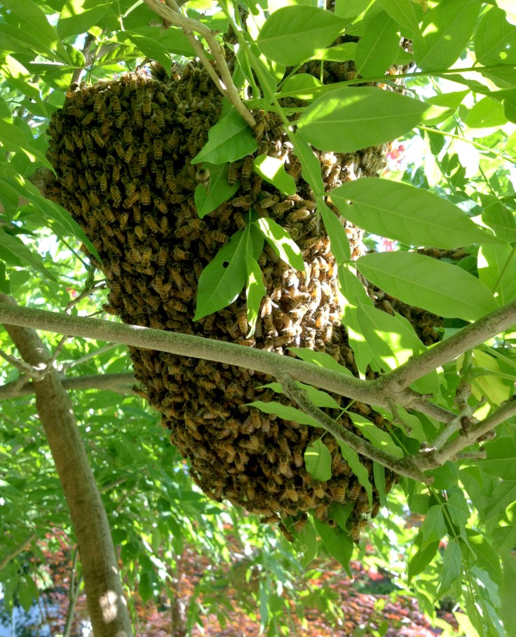 The third swarm from the first hive balled up on the lower branches of Wisteria