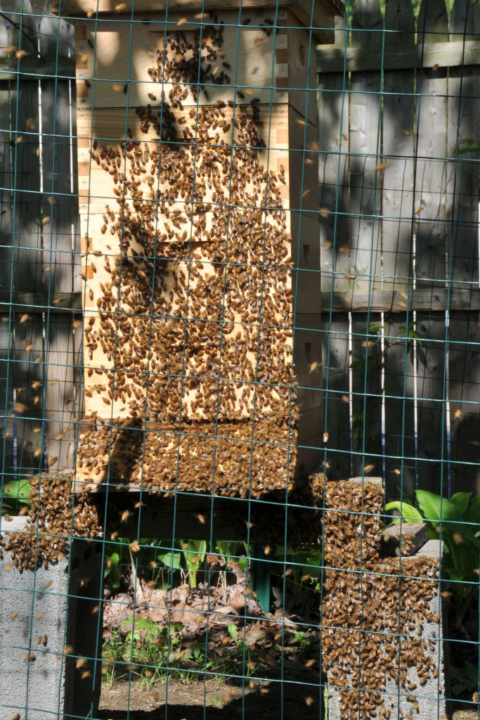 The first swarm, while some were flying around, the majority of them gathered in front and under the hive