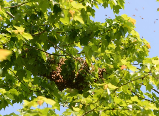 This is a rehearsal swarm in the morning, 20 feet up on a maple tree. They got back to the hive before the actual swarm to a lower rosebush in the afternoon