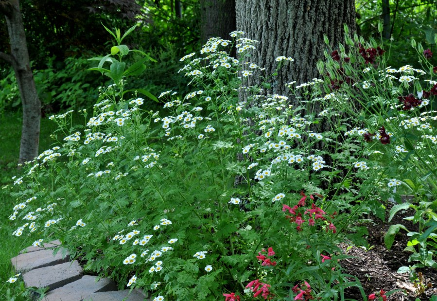 Feverfew, Agastache and Columbine