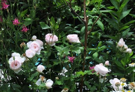 'Heritage' rose and columbine
