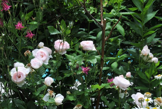 'Heritage' rose and columbine