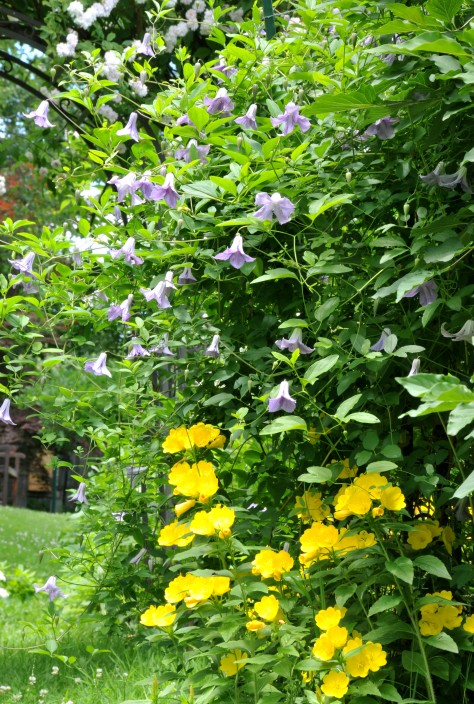 Clematis 'Betty Corning' and Buttercup