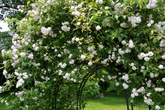 Paul's Himalayan Musk rose has never failed to bloom profusely
