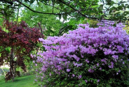 Azalea in early spring