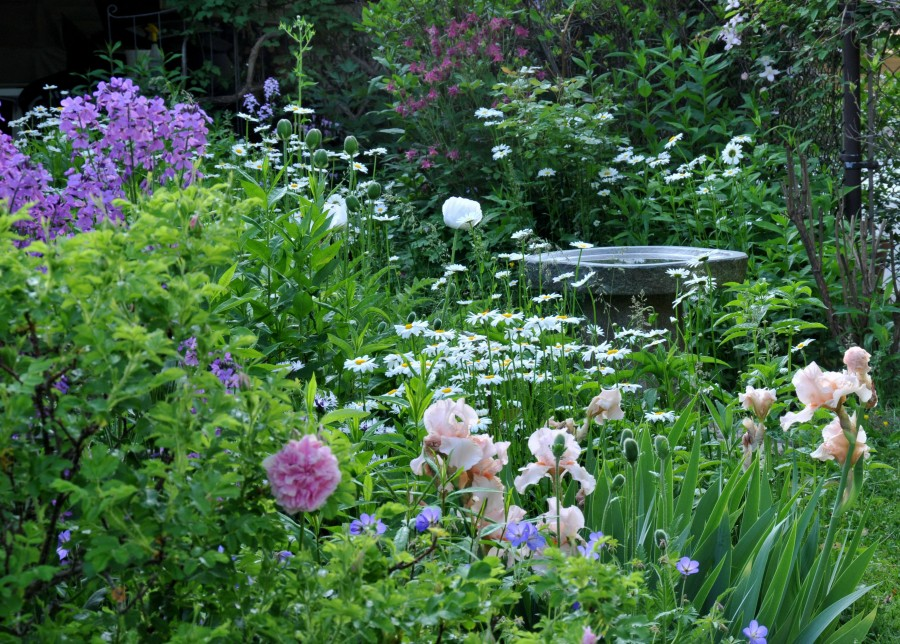 Iris, Daisy, Geranium, Oriental poppy 'Royal Wedding' and Rosa Rugosa 'Ms Doreen Pike' with a granite birdbath in the background