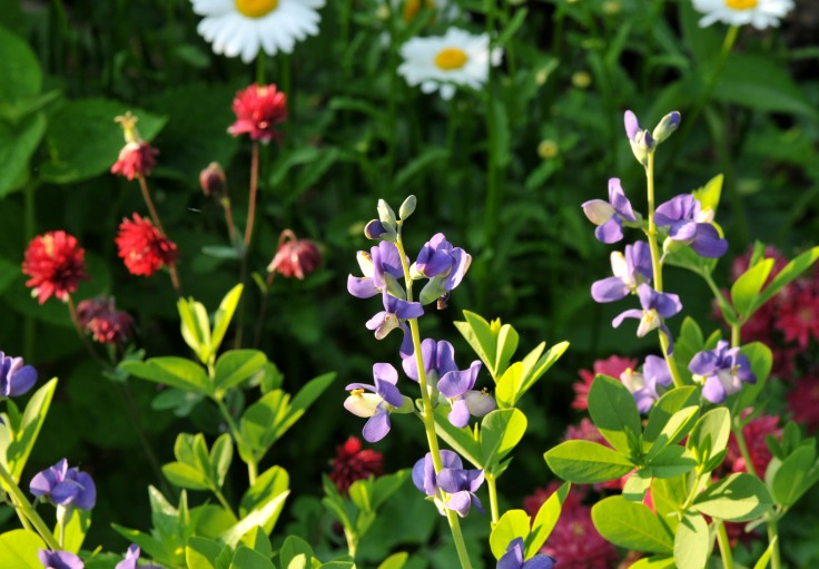 False Indigo, Columbine and Daisy