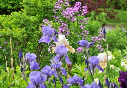 Iris and wild phlox