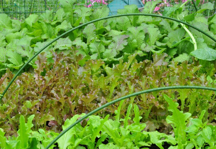 Mustard green (Dragon Tongue), Red-leaf lettuce and Oak-leaf lettuce with hoops placed in interval so I can put a net on to block them from the hot sun
