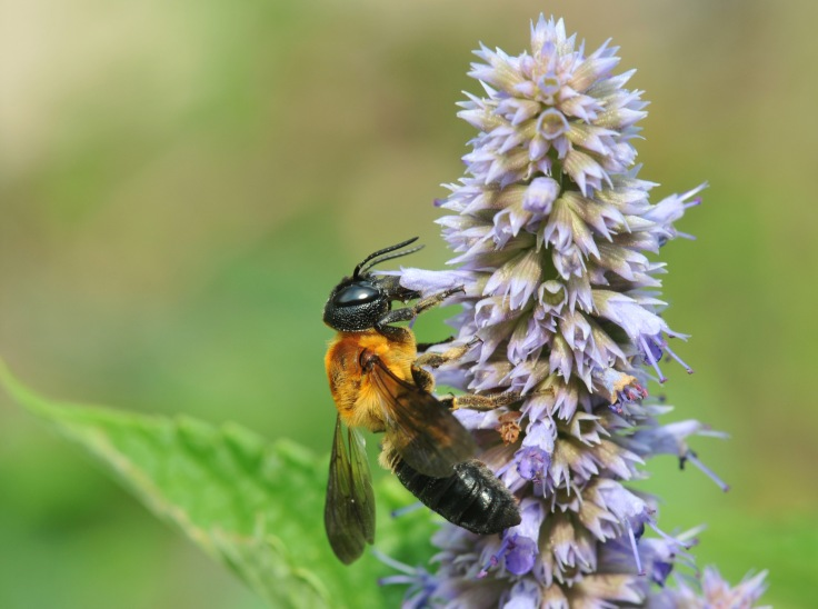 Giant Resin bee on Anise Hyssop