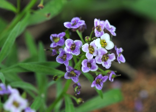 Alyssum 'Royal Carpet' a mix of mostly purple and white tiny flowers