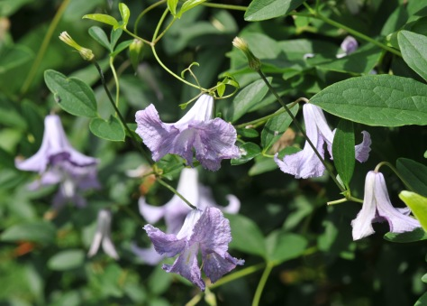 Clematis 'Betty Corning' keeps blooming through summer