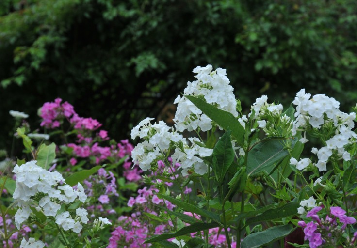 White and pink phlox