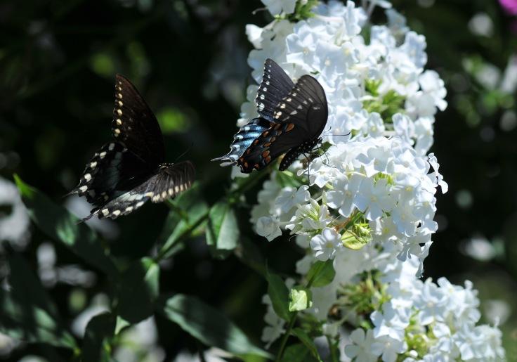 On Garden Phlox