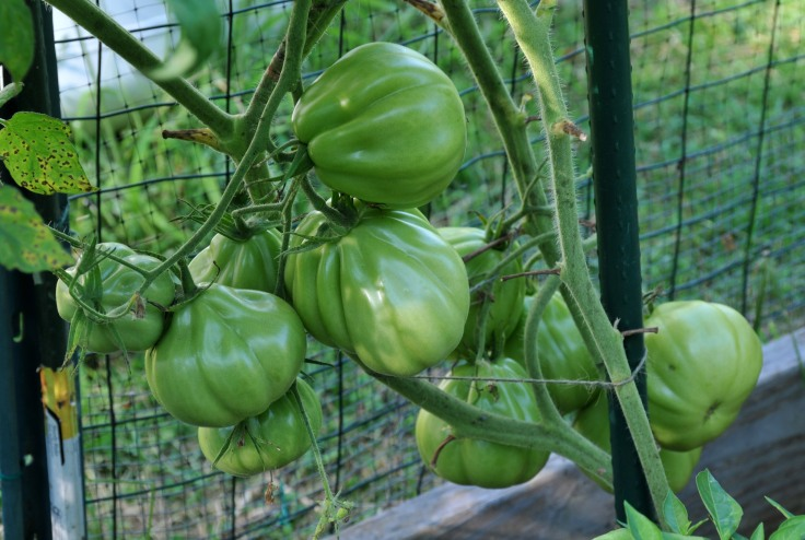 I have no idea what this one is.  I picked up an organic heirloom tomato from the farmer's market last year and we loved it.  So I kept some seeds.  They are pretty big and look like ribbed pears.