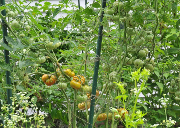 Ceylon tomato, a medium sized tomato, I grew for the first time this year. Plenty of 1.5 to 2 inches fruits