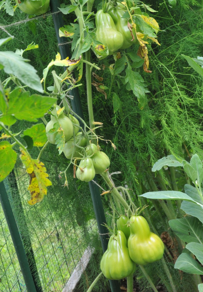 This one grew from seeds of the same tomato above but probably has to fight for food with the asparagus next to it so the fruits are much slimmer.