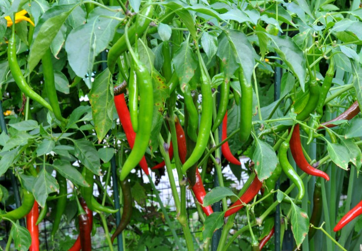 This long Thai chili can grow from 3.5 to 5 inches.  It's not as spicy as the little one