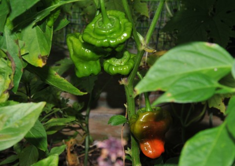 Jamaican Red chili has just started to ripen.  I skipped the yellow kind this year