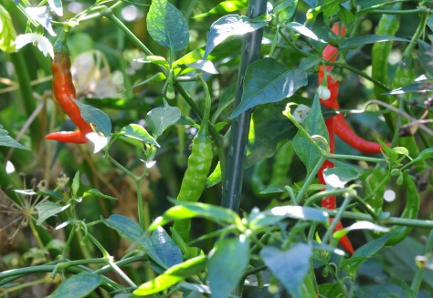 Indian Jwala chili is around two inches long, good both fresh and dry