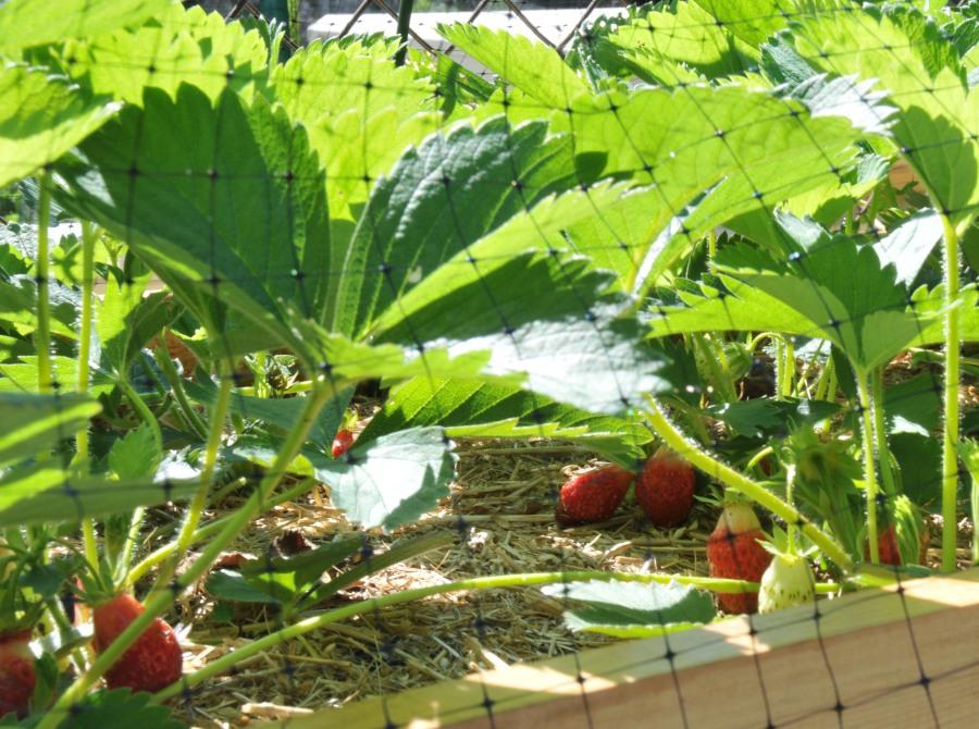 Plenty of strawberries in early June