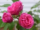 Rose 'MM. Isaac'