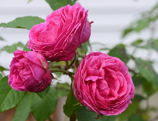 Rose 'MME. Isaac Pereire'