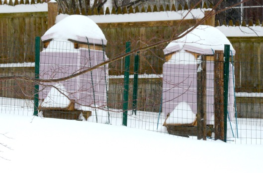 Beehives last winter, with two inches of foam board insulation.  They came out of the winter well