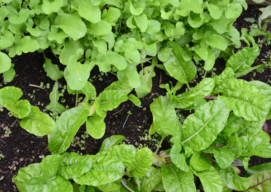 Arugula and Swiss chard in late October