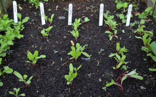 Arugula and Swiss chard seedlings in early September.