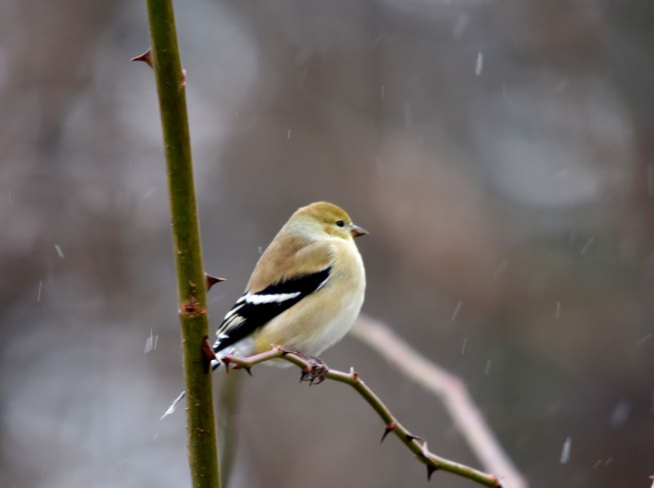 American Goldfinch in show