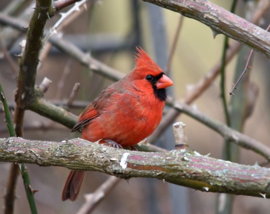 Male Northern Cardinal in the rose bush
