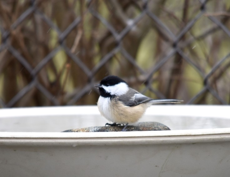 Chickadee enjoying a heated birdbath