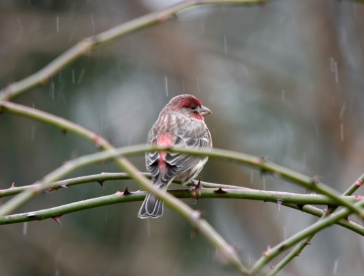 House Finch waiting his turn at the feeder